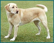 Sharplaninskaya Çoban Köpeği. Cins tanımı 59